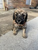 Golden Doodle Puppies for sale in Chattanooga, TN, USA. price: NA
