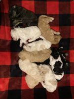 Golden Doodle Puppies for sale in CUMBERLND CLG, KY 40769, USA. price: NA