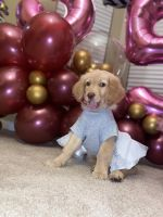 Golden Doodle Puppies for sale in Holly Springs, NC, USA. price: NA