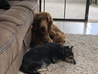 Golden Doodle Puppies for sale in Clearwater, FL, USA. price: NA