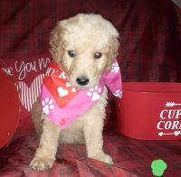 Golden Doodle Puppies for sale in W Alexis Rd, Toledo, OH, USA. price: NA