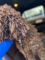 Golden Doodle Puppies for sale in Irving, TX, USA. price: NA