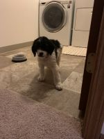 Golden Doodle Puppies for sale in Middleville, MI 49333, USA. price: NA