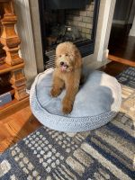 Golden Doodle Puppies for sale in Kansas City, MO 64157, USA. price: NA