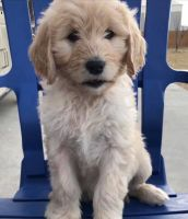 Golden Doodle Puppies for sale in California City, CA, USA. price: NA