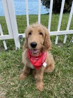 Golden Doodle Puppies for sale in Kendall, FL, USA. price: NA