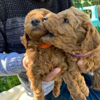 Golden Doodle Puppies for sale in Fort Worth, TX, USA. price: NA