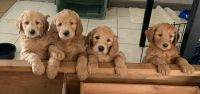 Golden Doodle Puppies for sale in Cypress, TX, USA. price: NA