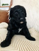 Golden Doodle Puppies for sale in Dayton, OH 45439, USA. price: NA
