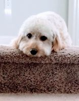 Golden Doodle Puppies for sale in Loganville, GA 30052, USA. price: NA