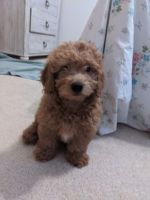 Golden Doodle Puppies for sale in 2913 Broken Bow Rd, Edmond, OK 73013, USA. price: NA