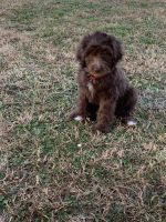 Golden Doodle Puppies for sale in Murfreesboro, TN, USA. price: NA