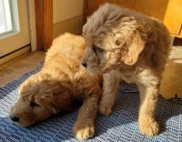 Golden Doodle Puppies for sale in Newaygo, MI 49337, USA. price: NA