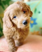 Golden Doodle Puppies for sale in Athens, TX, USA. price: NA