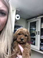 Golden Doodle Puppies for sale in Perry, MI 48872, USA. price: NA
