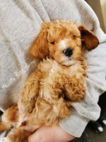 Golden Doodle Puppies for sale in Alexandria, VA, USA. price: NA
