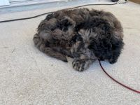 Golden Doodle Puppies for sale in Jacksonville, FL 32218, USA. price: NA