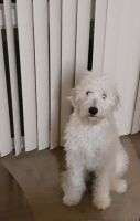 Golden Doodle Puppies for sale in Frederick, MD, USA. price: NA