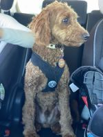 Golden Doodle Puppies for sale in Redondo Beach, CA, USA. price: NA