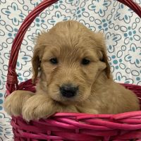 Golden Doodle Puppies for sale in CA-1, Long Beach, CA, USA. price: NA