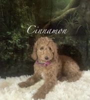 Golden Doodle Puppies for sale in 1001 Maplehurst Ave, Montpelier, OH 43543, USA. price: NA
