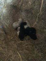 Golden Doodle Puppies for sale in Lawrenceburg, TN, USA. price: NA