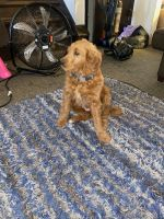 Golden Doodle Puppies for sale in Canton, OH, USA. price: NA