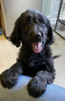 Golden Doodle Puppies for sale in Tacoma, WA, USA. price: NA