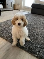 Golden Doodle Puppies for sale in Plano, TX 75023, USA. price: NA