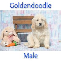Golden Doodle Puppies for sale in Clare, MI 48617, USA. price: NA