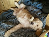 Golden Doodle Puppies for sale in Fort Payne, AL, USA. price: NA