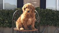 Golden Doodle Puppies for sale in Syracuse, UT, USA. price: NA