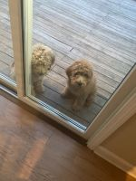 Golden Doodle Puppies for sale in Glastonbury, CT, USA. price: NA