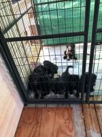 Golden Doodle Puppies for sale in 171 Old James Rd, Gray, GA 31032, USA. price: NA