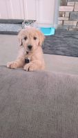 Golden Doodle Puppies for sale in Minneapolis, MN 55446, USA. price: NA