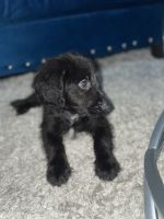 Golden Doodle Puppies for sale in Miami, FL, USA. price: NA