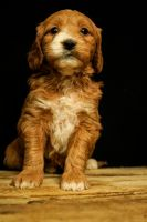 Golden Doodle Puppies for sale in Fort Wayne, IN, USA. price: NA