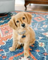 Golden Doodle Puppies for sale in Highlands Ranch, CO, USA. price: NA