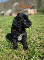 Golden Doodle Puppies for sale in Unicoi, TN, USA. price: NA