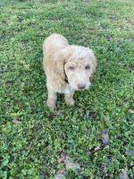 Golden Doodle Puppies for sale in Mebane, NC 27302, USA. price: NA