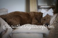 Golden Doodle Puppies for sale in Savannah, TN 38372, USA. price: NA
