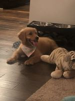 Golden Doodle Puppies for sale in Dacula, GA 30019, USA. price: NA