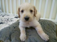 Golden Doodle Puppies for sale in St David, AZ 85630, USA. price: NA