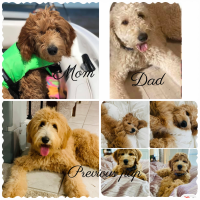 Golden Doodle Puppies for sale in Denison, TX, USA. price: NA