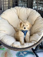Golden Doodle Puppies for sale in Frisco, TX, USA. price: NA