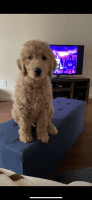 Golden Doodle Puppies for sale in Johnson City, TN, USA. price: NA