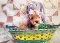 Golden Doodle Puppies for sale in Bryan, TX, USA. price: NA