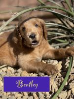 Golden Doodle Puppies for sale in Henderson, NV, USA. price: NA