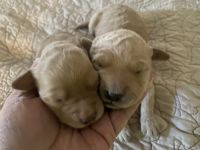 Golden Doodle Puppies for sale in Walls, MS, USA. price: NA