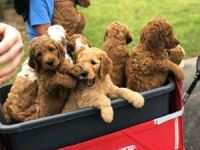 Golden Doodle Puppies for sale in Lafayette, LA, USA. price: NA